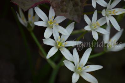 white petite flowers